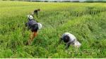 춘천준법지원센터 벼 재배농가 피해복구 활동