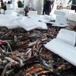 '돌아온 오징어' 속초 어획량 3배 늘어