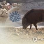 철원 멧돼지 폐사체서 이틀 연속 돼지열병 바이러스