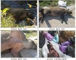 '돼지열병 차단 최전선' 강원 접경지 야생 멧돼지 포획 총력