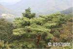 정선에서 전세계적 희귀종 '황금소나무' 발견