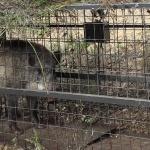 철원 민통선 내 멧돼지서 돼지열병 바이러스 검출…총 12건