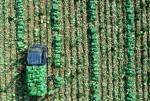분주한 배추 수확