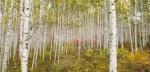 인제 자작나무 숲 산불조심 기간 개방