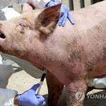 강원 접경지역 모든 양돈 농가 돼지열병 '이상 없음'