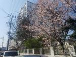 봄 전령사 매화 활짝