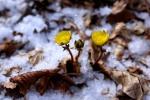 '눈 속에 피는 꽃' 복수초 개화