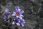 정선 동강 뼝대에 피어난 봄