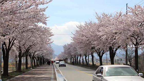 양양 남대천 둔치길 벚꽃 만개