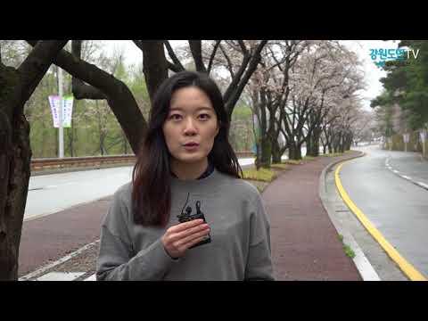 도내 벚꽃축제 '꽃 없는 축제' 우려