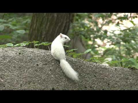 설악산서 길조 흰다람쥐 발견