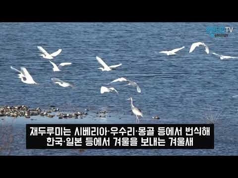 천연기념물 제203호 재두루미 나타나