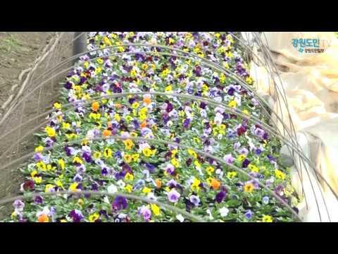 한발 빨리 찾아온 봄 '춘천시 꽃묘장'