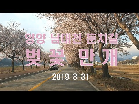 """양양 남대천 둔치 벚꽃 만개 """"드라이브 좋아요"""""""