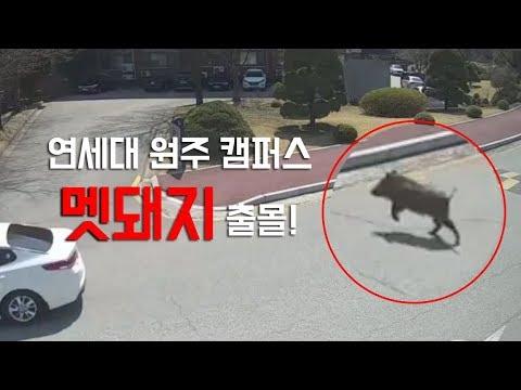 연세대 원주캠퍼스 멧돼지 출몰…한바탕 소동