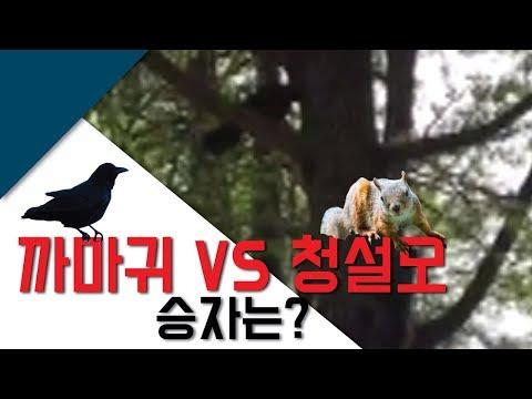 까마귀 vs 청설모 승자는?