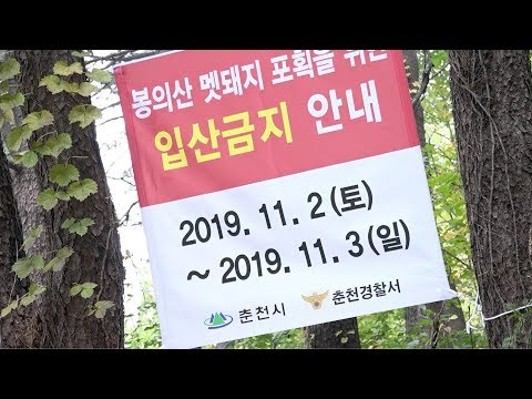 춘천 봉의산 멧돼지 포획 총 쏜다