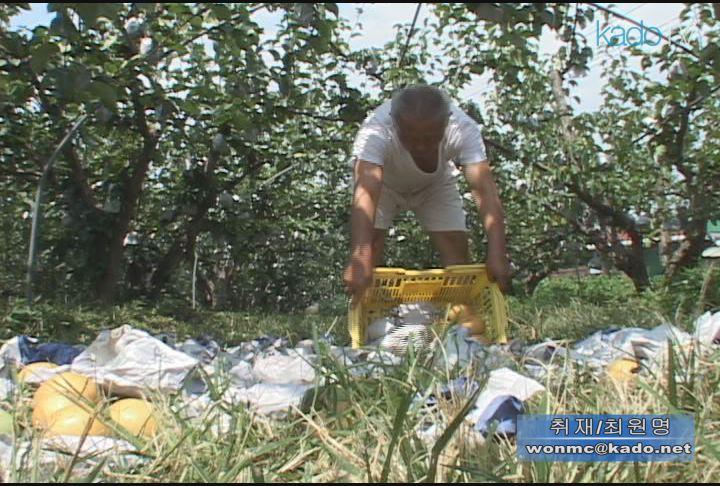 태풍 '볼라벤'과수농가 피해 속출